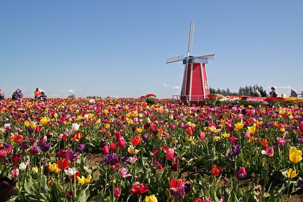Tulip Festival, Wooden Shoe Bulb Company