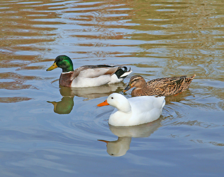Ducks in Albany Lake