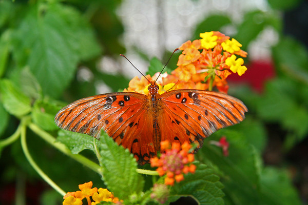 Butterfly Rainforest, Florida Museum of Natural History  - Gulf Fritillary