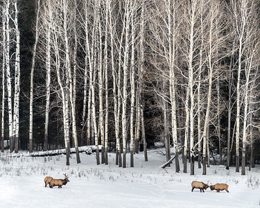 Elk Sparing  - Alberta