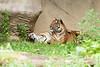 Snuggle Tigers