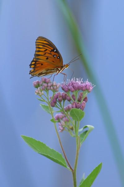 Merritt Island Butterfly