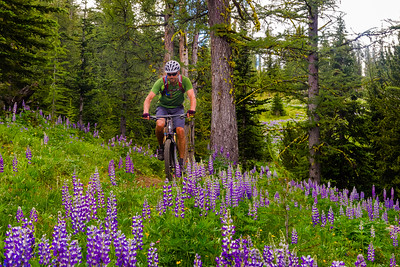 Biking through the lupines, Methow Valley, Washington