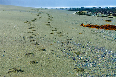 Tracks, Olympic Beach, Washington