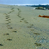 Tracks, Olympic Beach, Washington