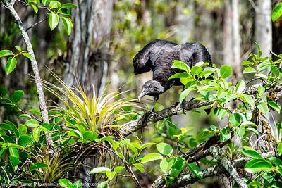 Buzzard, Everglades NP