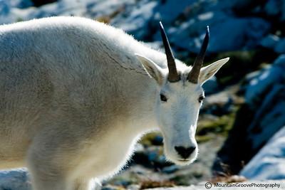 Mountain Goat, Alpine Lakes Wilderness, WA
