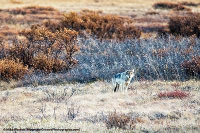 Wolf, Denali National Park, AK