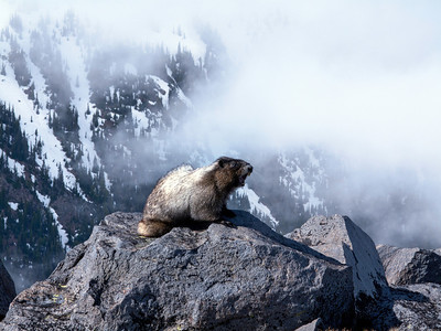 Marmot, Mt. Rainier NP, WA