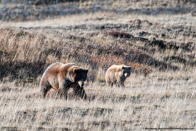 Grizzly, Denali NP, AK