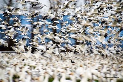 Snow Geese, Skagit County, WA