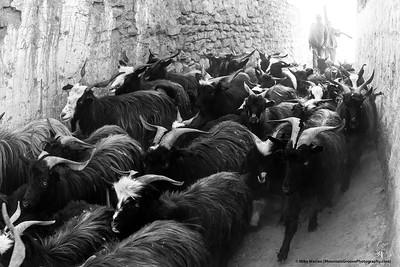 Goats, Upper Mustang region, Nepal