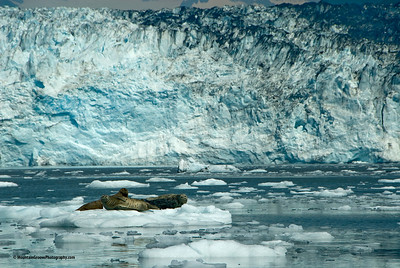 Sea lions, Prince William Sound, AK