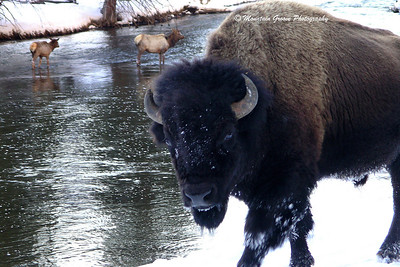 Bison, Yellowstone NP, WY