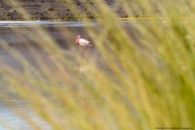 Flamingo, Bolivian Altoplano,  Bolivia