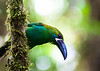 Crimson-rumped Toucanet