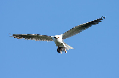 White-tail Kite with Breakfast