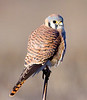 Female Kestral