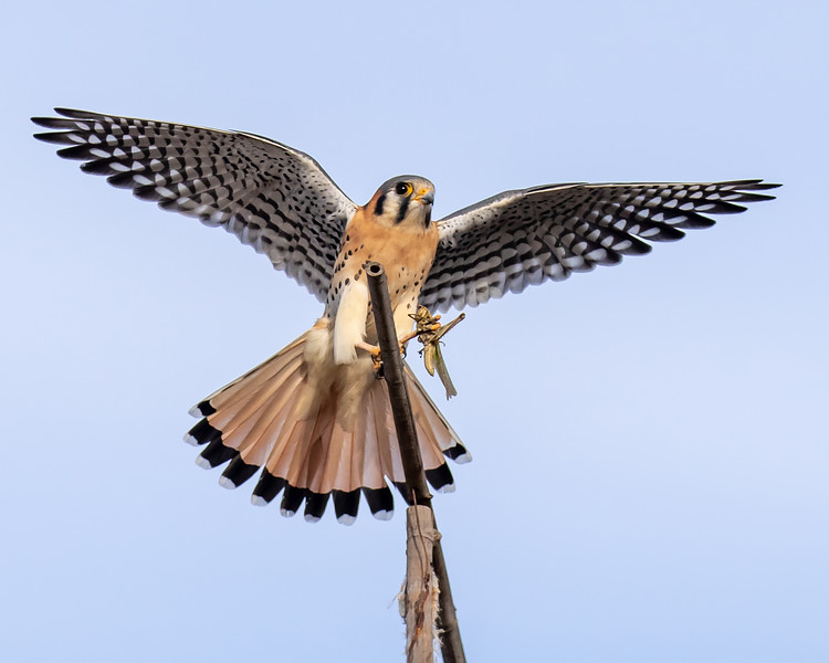 Kestrel with Grasshopper