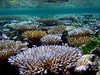 Shallow, Acropora-dominated reef community in Chuuk Lagoon