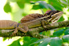 Brown Basilisk Lizard