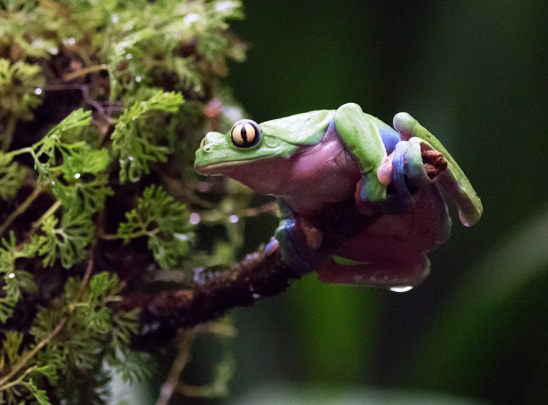 Blue-sided Frog