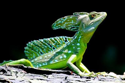 Green Basilisk 2