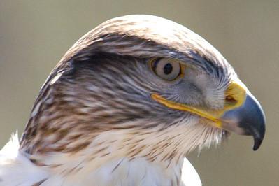 Eagle Eye--Desert Museum