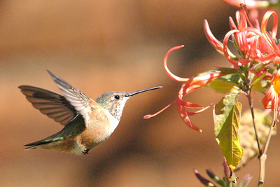 Hummingbird Exhibit at Desert Museum