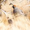 gambels quail chick