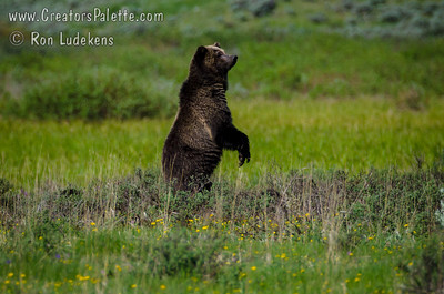 Grizzly Bear - Yellowstone N.P.