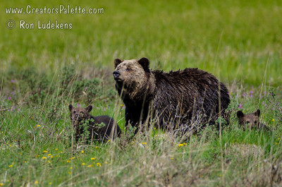 Grizzly Bear and Cubs - Yellowstone N.P.
