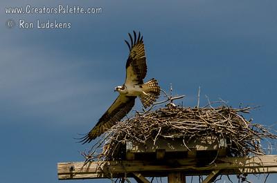 Osprey leaving nest - Alpine, WY.