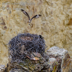 Osprey returning to eggs in nest - Yellowstone