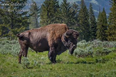 American Buffalo - Yellowstone N. P.