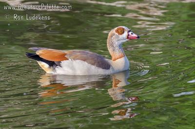 Egytian Goose - Elmendorf Lake, San Antonio, Texas