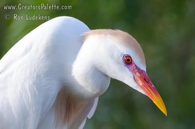 Cattle Egret - Elmendorf Lake, Sna Antonio, Texas
