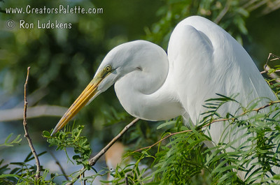 Great Egret - Elmendorf Lake, San Antonio, Texas