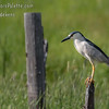 Blackcrowned Night Heron - Camas County, Idaho