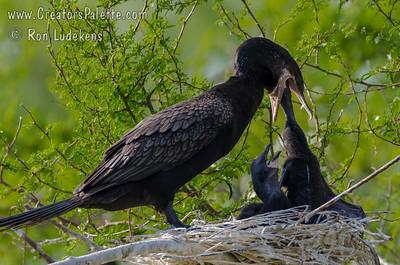 Neotropic Cormorant feeding babies.  Elmendorf Lake Park, San Antonio, TX