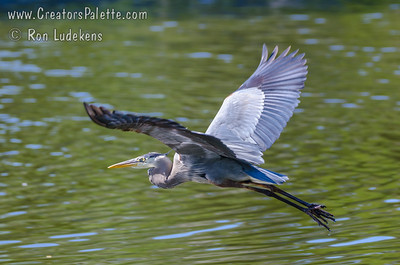 Great Blue Heron - Weatherford, Texas