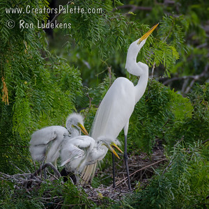 Great Egret with new hatchlings - San Antonio, TX