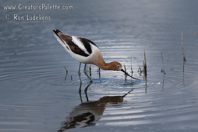 American Avocet at Merced National Wildlife Refuge
