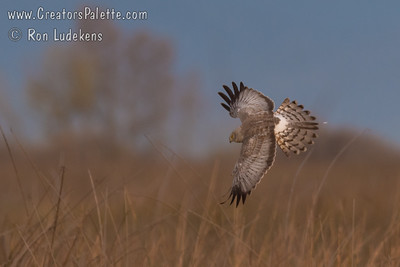 Northern Harrier - San Luis National Wildlife Refuge