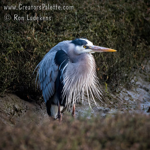 Frazzled Looking Great Blue Heron - Morro Bay