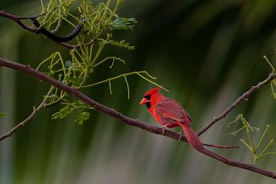 Northern Cardinal on Big Island of Hawaii