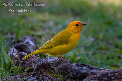 Saffron Finch - Hilo, Hawaii