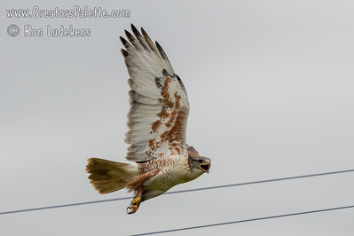 Ferruginous Hawk - Behind Rocky Hill in Tulare County, CA