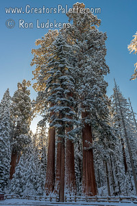 Snow covered Giant Redwoods from a late spring (Memorial weekend) storm in Kings Canyon National Park.