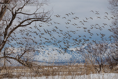 Flight of Greater Whitefronted Geese - Lower Klamath National Wildlife  Refuge